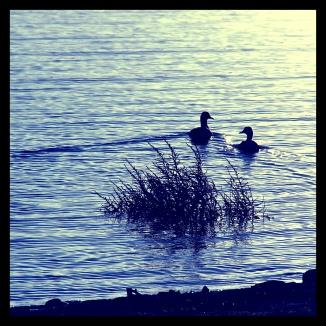 ducksj